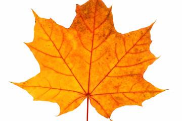 autumn leaf close-up