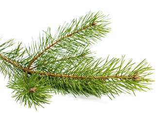 The image of a branch of the pine