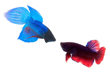 Siamese fighting fish (Betta splendens) are fighting each other.