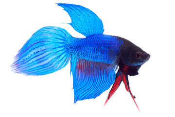 Siamese fighting fish (Betta splendens), on white background