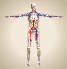 Human (male) circulation system and nervous system