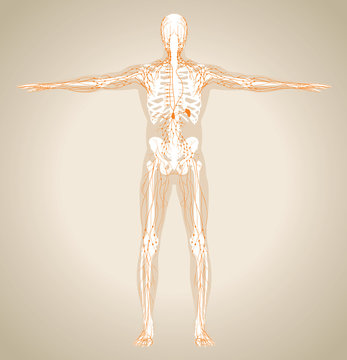Human (male) lymphatic system
