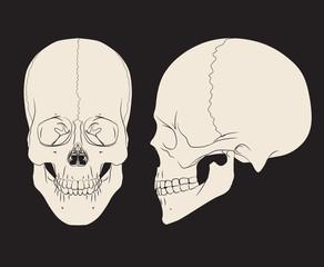 Human skull (male). Vector illustration