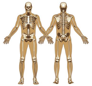 Human skeleton on flat body background