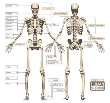 A diagram of the human skeleton
