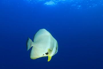 Batfish (Spadefish)