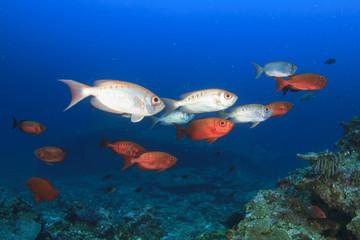 School red bigeye fish