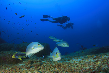 Scuba divers and sweetlips fish