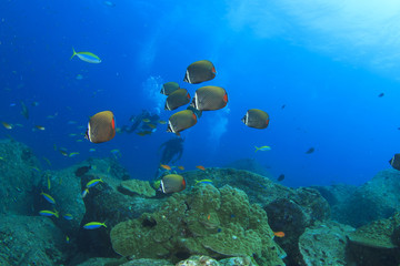 Butterflyfish school and scuba divers