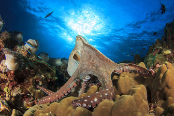 Big Red Octopus on coral reef