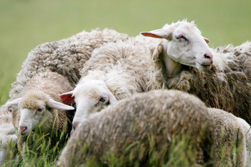 Close up of sheep in flock on meadow