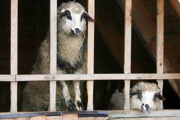 Close up of sheep in stable