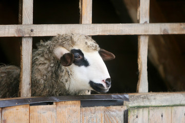 Close up of sheep in wooden stable
