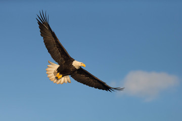 American Bald Eagle flying in the area of Homer Alaska