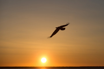 Magestic American Bald Eagle Flying at sunset near Homer Alaska