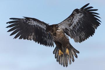 Garden Poster Eagle Juvenile Bald Eagle near Homer Alaska