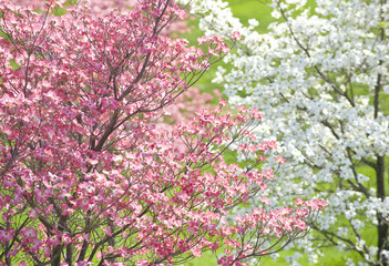Easter Dogwood Blossoms