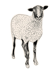 Hand drawn sheep