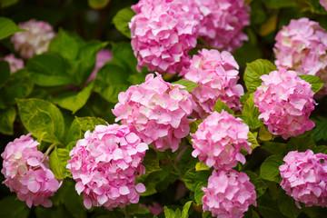 Hydrangea pink flowers in bloom garde