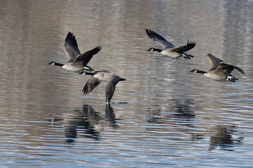 Four Canada Geese Taking to Flight from a Lake