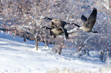 Three Canada Geese Flying Over a Winter Lake