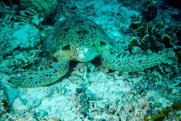 Green sea turtle resting in Derawan, Kalimantan underwater