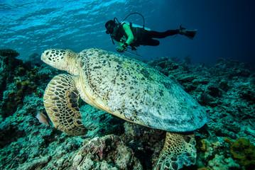 Diver and green sea turtle in Derawan, Kalimantan underwater