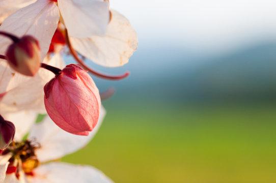 Wishing Tree, Pink Showe, Cassia Bakeriana Craib