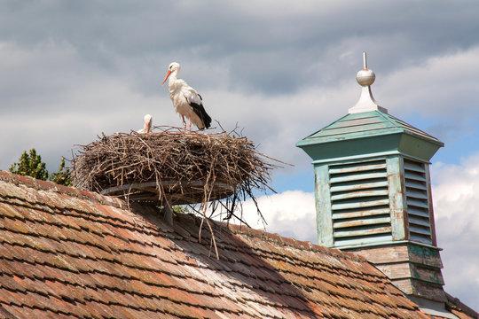 Cigogne blanche au nid, Ingersheim, Haut Rhin, Alsace