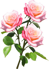 bunch of three light pink roses isolated on white