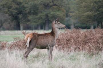hind female red deer profile field