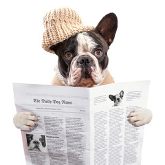 French bulldog in hat reading newspaper over white