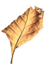 Big dried tree leaf isolated on white on white background