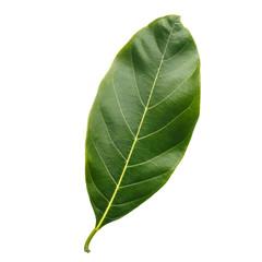 Tree leaf isolated on white on white background