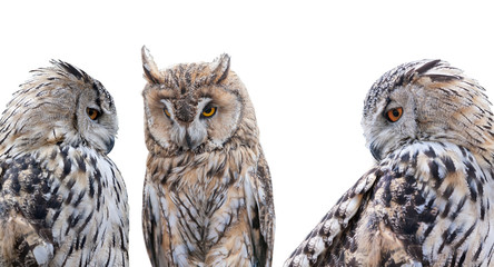 Fotoväggar - three grey owls isolated on white background