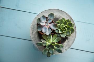 Succulents in concrete pot. Blue wooden table.