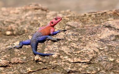 blau roter Gecko