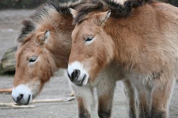 two przewalskis horses equus ferus przewalskii