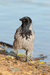 Corvus cornix, Hooded Crow.
