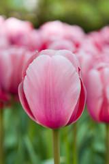 Pink tulip macro shot
