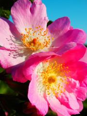 wild rose flowers in bloom