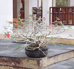 Bonsai tree in a pot on the table