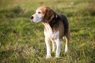 Beautiful purebred smart beagle hunting dog in summer pasture