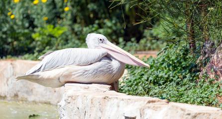 Foto auf AluDibond Straus Pink-Backed Pelican (Pelecanus rufescens) in a park
