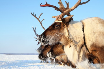Reindeer in frosty day