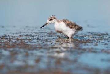 Black-winged stilt chick
