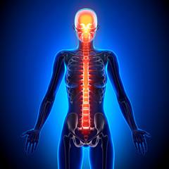 Female Spine - Anatomy Bones