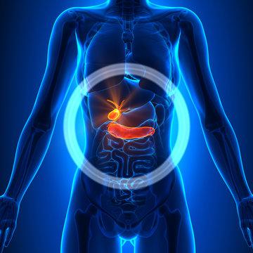 Gallbladder / Pancreas - Female Organs - Human Anatomy