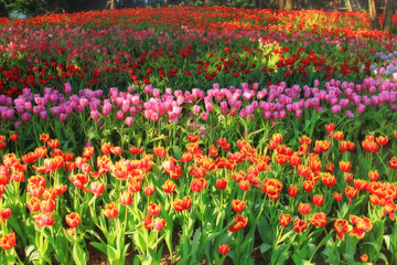 multicolored tulips in the garden, tulip field
