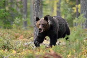 Bear walking in the woods